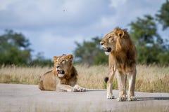 2 брать льва на дороге Стоковое фото RF