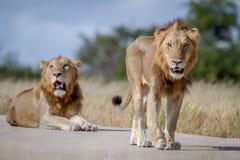 2 брать льва на дороге Стоковая Фотография