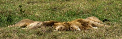 2 брать льва спят совместно Стоковое Изображение