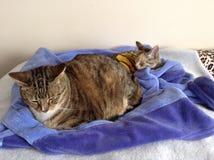 Брат и сестра кота Tabby Стоковые Изображения RF