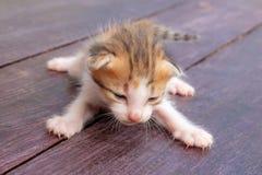 Браун-белые котята стоковое фото