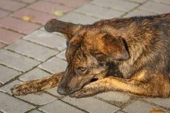 Браун волосатый, милая собака, шавка лежит на тротуаре, конце-вверх стоковая фотография