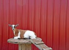 Браун и белая коза на таблице катышкы стоковое фото