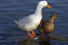 Браун и белые утки стоковые изображения