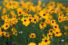 Браун наблюдал Сьюзан - желтые цветки в луге стоковое фото rf