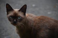 Браун-наблюданный кот выпячивая снова осторожное смотреть стоковое изображение