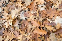 Браун обесцветил листья дуба упаденные на пол леса стоковые изображения rf