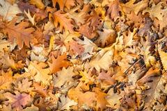 Браун обесцветил листья дуба упаденные на пол леса стоковые изображения
