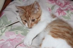 Браун смотрит на кота на кровати стоковые фотографии rf