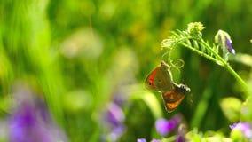 Брачный период у бабочек obrazy royalty free