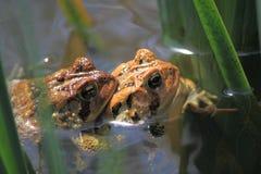 Брачный период лягушки Стоковые Фотографии RF