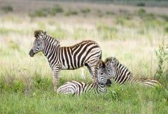 Бригада молодости зебры Стоковое Фото