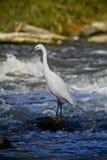 броды реки egret немного вне Стоковая Фотография RF