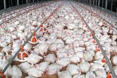 Бройлер птицы в расквартировывая деле фермы стоковые фотографии rf