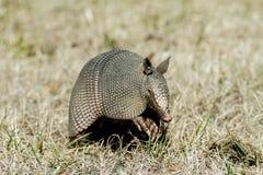 Броненосец в траве Стоковая Фотография RF