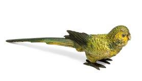 Бронза вены желтого волнистого попугайчика Стоковое фото RF