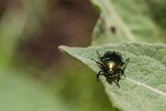 Бронза жука золотая Стоковое фото RF