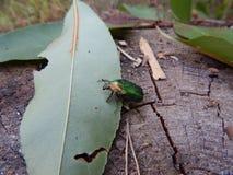 бронза жука насекомого сидит на зеленых лист Стоковое Изображение