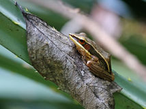 Бронзированная лягушка (temporalis Hylarana) стоковое изображение rf