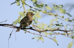 Бронзированный Cowbird, пустыня Tucson Аризоны стоковые изображения rf