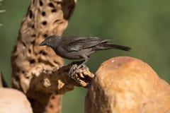 Бронзированный Cowbird стоковые изображения rf