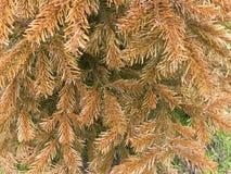 Бронзировать вечнозеленых листьев Стоковая Фотография