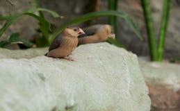 Бронзовый зяблик сидя на камне Стоковые Фото
