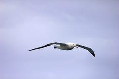 Бродяжничая альбатрос летая, альбатрос Snowy, который Бело-подогнали альбатрос или Goonie, exulans diomedea, Антарктика стоковая фотография rf