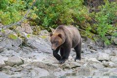 Бродяжничая медведь Стоковое Изображение RF