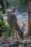 Бродяжничая олени Стоковые Фото