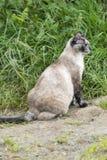 Бродя кот пункта цвета tortie Стоковое фото RF