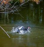 Брызгает и утка стоковое фото