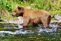 Брызгать медведя гризли Аляски Брайна Salmon Стоковые Фото