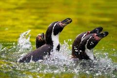 Брызгать пингвинов Стоковое Изображение