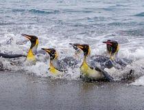 Брызгающ, плавающ, приземляясь король пингвины Стоковое Фото