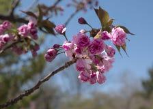 Брызг вишневого цвета Стоковые Фото