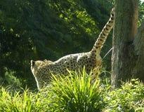 брызг гепарда Стоковое Изображение
