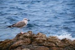 Брызг чайки и волны Стоковое Изображение
