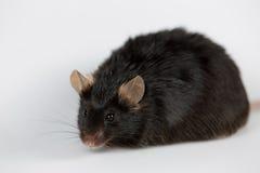 Брюзгливая мышь стоковая фотография rf