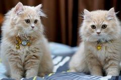 Брюнет персидских котов милое стоковые фотографии rf