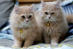 Брюнет персидских котов милое стоковое изображение