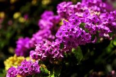 Бугинвилия лианы, розовые цветки стоковое фото