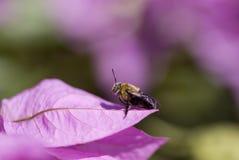 бугинвилия пчелы Стоковые Изображения RF