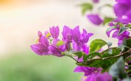 Бугинвилия цветет пурпур стоковое изображение rf