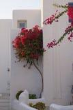Бугинвилия в Греции Стоковое Изображение