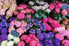 Бугинвилия в местном рынке цветка в Франции Стоковая Фотография RF