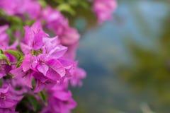 Бугинвилия в природе Стоковые Фото