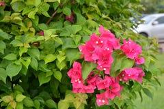 Бугинвилия в саде Стоковые Фото