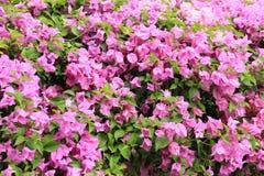 Бугинвилия в саде Стоковое Фото