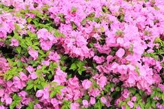 Бугинвилия в саде Стоковое Изображение RF